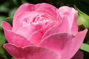 rose-364918_1280